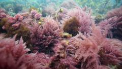 Purple seaweed moving with tidal current underwater Stock Footage