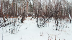 walking on snow-covered birch forest - stock footage
