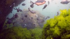 School of blue maomao (Scorpis violacea) swimming in current underwater Stock Footage