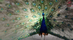 Stock Video Footage of Peacock with extended feathers