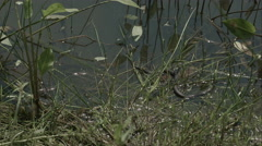 Moving grass snake, natrix on pond with duckweed Stock Footage