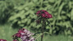 Fly on pink Carnations in garden Stock Footage