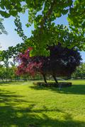 Sprinkling of green grass of a park with trees in spring. Branches of ginkgo Stock Photos