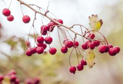Red berries on the branches, on autumn color style under daily light Stock Photos