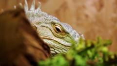 Big green iguana in terrarium Stock Footage