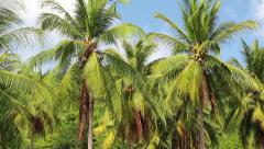 Coconut palms on the Koh Chang island in Thailand Stock Footage