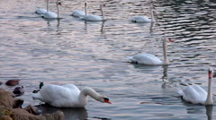 Big swan shaking his neck before swiming - tracking Stock Footage