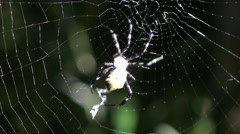 4K Spider Draws Thick White Zigzag Line Across Web Stock Footage