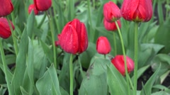 Gentle Tulipes After Rain with Magic Drops of Dew. 4K UltraHD, UHD Stock Footage