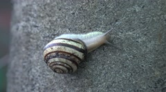 Stock Video Footage of Slow Moving of Funny Snail on the Gray Background. 4K UltraHD, UHD