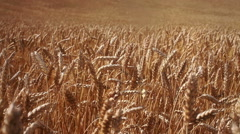 Full frame golden wheat filed Stock Footage