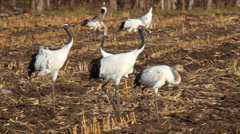 Red crowned Crane walking in the field Stock Footage
