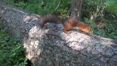 A red squirrel (in 4k) on Seurasaari Island, Helsinki, Finland. Stock Footage