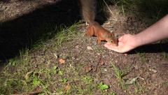Feeding a red squirrel (in 4k) on Seurasaari Island, Helsinki, Finland. Stock Footage