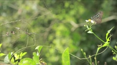 Butterfly Glassy Tiger perched on a flower in the mointain of Taiwan-Dan Stock Footage