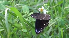 4K Butterfly Euploea tulliolus, the dwarf crow or small brown crow in Taiwan-Dan Stock Footage