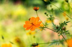 Orange cosmos flower - stock photo