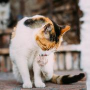 Mixed Breed White and Red Cat Lick Washes Itself - stock photo