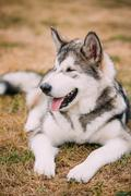 Close up portrait of young Happy Alaskan Malamute Dog - stock photo