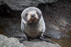 Stock Photo of Fur Seal Pup