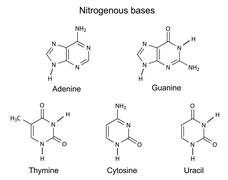 Chemical structural formulas of purine and pyrimidine nitrogenous bases Stock Illustration