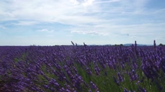 Lavender field in Provence, near Sault, France Stock Footage