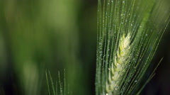 Raindrops falling down on a green wheat ear. Soft focus. Stock Footage