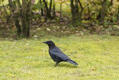Carrion crow (Corvus corone) - stock photo