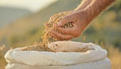 Farmer hands man golden grain seed beautiful countryside slow motion Stock Footage