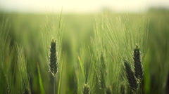 Backlit shot of green wheat field with some ears in foreground. Soft focus. - stock footage