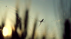 Stock Video Footage of Backlit shot of spider spinning its cobweb with dew in a wheat field, at sunset.