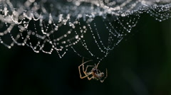 Spider spinning its web with dew in backlit, in a black background. - stock footage