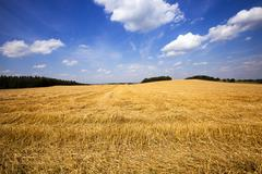 slanted wheat. harvest company - stock photo