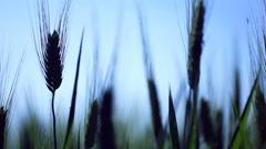 Backlit shot of wheat ears in a wheat field, Silhouette. Stock Footage