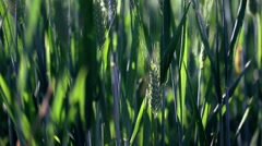 From the top shot of green wheat field. Soft focus. Stock Footage