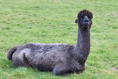 close up black fur alpaca lying on green field - stock photo