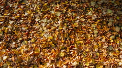 Autumn fallen leaves which blow away by strong winds Stock Footage