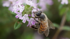 Macro of bee sucking nectar on a plant of thyme. Stock Footage