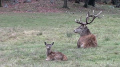 A parent and baby elk Stock Footage