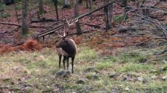 Big Elk in the woods Stock Footage