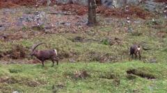 Ibex feeding a field Stock Footage