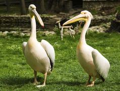 Pelicans in zoo Stock Photos