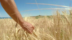 Man walking and caressing a yellow, ripe wheat field under a blue sky. Stock Footage