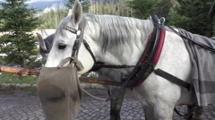 Hungry horse eats oats from bag after the carriage ride Stock Footage