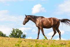 Stock Photo of Majestic graceful brown horse in meadow.