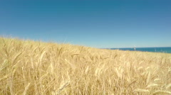 4k Walking in a yellow wheat field under a blue sky. Personal perspective. - stock footage