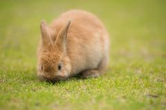 Wild Bunny Feeds on Local Grasses Cute Rabbit Stock Photos