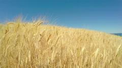 4K ladybug on a ripe wheat field near the sea. Stock Footage