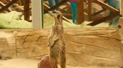 Meerkat Looking Around at the Zoo Stock Footage