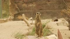 Meerkat Looking Around Stock Footage